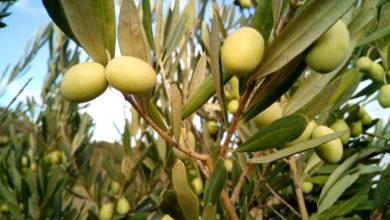 Photo of E' allarme olio italiano